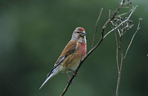 Male Common Linnet (Acanthis / Carduelis cannabina) singing, Fretterans, France, May 1999 - Rolf Nussbaumer