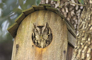 Eastern Screech-Owl (Megascops asio) with head out of nest box, Willacy County, Rio Grande Valley, Texas, USA. March 2004  -  Rolf Nussbaumer