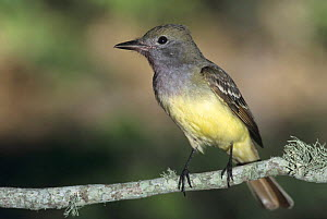 Great-crested Flycatcher (Myiarchus crinitus) perched on branch, High Island, Texas, USA. May 2001  -  Rolf Nussbaumer