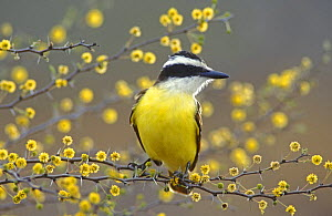 Great Kiskadee (Pitangus sulphuratus) perched on flowering blooming Huisache (Acacia farnesiana), Lake Corpus Christi, Texas, USA. April 2003 - Rolf Nussbaumer