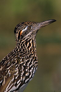 RF- Profile portrait of Greater Roadrunner (Geococcyx californianus). Starr County, Rio Grande Valley, Texas, USA. May. (This image may be licensed either as rights managed or royalty free.)  -  Rolf Nussbaumer