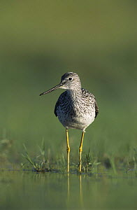 Greater Yellowlegs (Tringa melanoleuca) wading in shallow water, Willacy County, Rio Grande Valley, Texas, USA. May 2004 - Rolf Nussbaumer
