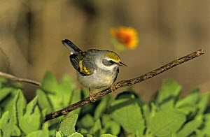 Female Golden-winged Warbler (Vermivora chrysoptera) South Padre Island, Texas, USA. May 2005  -  Rolf Nussbaumer
