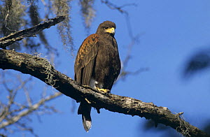 Harris's Hawk (Parabuteo unicinctus) perched on branch. Santa Ana National Wildlife Refuge, Texas, USA. December 2003  -  Rolf Nussbaumer