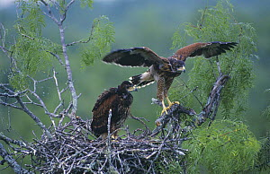 Juvenile Harris's Hawks (Parabuteo unicinctus), 5 weeks, on nest testing wings, Mesquite tree, Willacy County, Rio Grande Valley, Texas, USA. May 2004  -  Rolf Nussbaumer