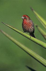 Male House Finch (Carpodacus mexicanus) on Trecul Yucca (Yucca treculeana), Lake Corpus Christi, Texas, USA. March 2003  -  Rolf Nussbaumer