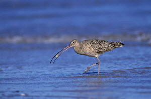 Long-billed Curlew (Numenius americanus) eating crab, Padre Island National Seashore, Texas, USA. December 2001  -  Rolf Nussbaumer