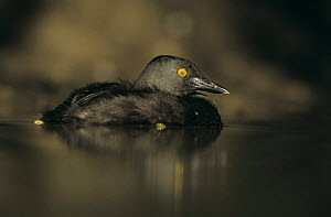 Least Grebe (Tachybaptus dominicus) on water, Starr County, Rio Grande Valley, Texas, USA. May 2002 - Rolf Nussbaumer