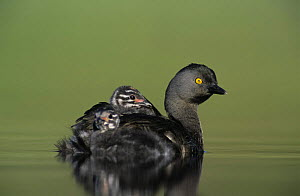 Least Grebe (Tachybaptus dominicus) parent with young on back, Willacy County, Rio Grande Valley, Texas, USA. May 2004 - Rolf Nussbaumer
