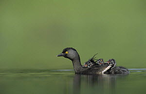 Least Grebe (Tachybaptus dominicus) adult with young on back, Willacy County, Rio Grande Valley, Texas, USA. May 2004 - Rolf Nussbaumer