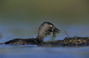 Least Grebe (Tachybaptus dominicus) building nest, Lake Corpus Christi, Texas, USA. June 2003 - Rolf Nussbaumer