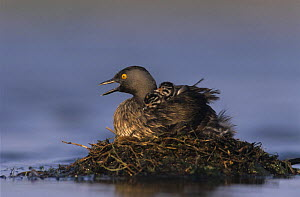 Least Grebe (Tachybaptus dominicus) on nest calling with 1 day chicks on back, Lake Corpus Christi, Texas, USA. June 2003 - Rolf Nussbaumer