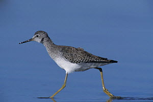 Lesser Yellowlegs (Tringa flavipes) running through shallow water, Bolivar Flats, Texas, USA. May 2005  -  Rolf Nussbaumer