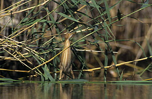 Female Little Bittern (Ixobrychus minutus) hunting in wetland, Samos, Greek Island, Greece. May 2000  -  Rolf Nussbaumer