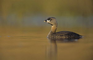 Immature Pied-billed Grebe (Podilymbus podiceps) on water, Willacy County, Rio Grande Valley, Texas, USA, May 2004  -  Rolf Nussbaumer