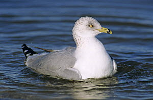 Ring-billed Gull (Larus delawarensis) bathing, Rockport, Texas, USA. December 2003 - Rolf Nussbaumer