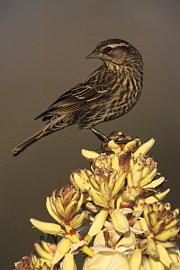 Portrait of female Red-winged Blackbird (Agelaius phoeniceus) on flowering Trecul Yucca (Yucca treculeana), Lake Corpus Christi, Texas, USA. March 2003  -  Rolf Nussbaumer