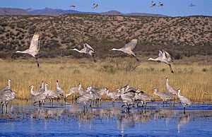 Group of Sandhill Cranes (Grus canadensis) taking off from roosting place, Bosque del Apache National Wildlife Refuge, NM, USA. December 2003 - Rolf Nussbaumer