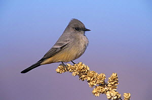 Say's Phoebe (Sayornis saya), Bosque del Apache National Wildlife Refuge, New Mexico, USA. December 2003  -  Rolf Nussbaumer