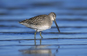 Short-billed Dowitcher (Limnodromus griseus) eating, winter plumage, Corpus Christi, Texas, USA. December 2001 - Rolf Nussbaumer