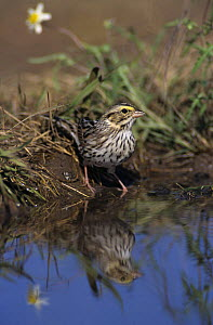 Song Sparrow (Melospiza melodia) at water to drink, Lake Corpus Christi, Texas, USA. May 2003  -  Rolf Nussbaumer