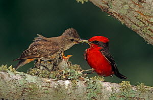 RF- Vermilion Flycatcher (Pyrocephalus rubinus) male giving insect to female for young in nest. Lake Corpus Christi, Texas, USA. May. (This image may be licensed either as rights managed or royalty fr... - Rolf Nussbaumer