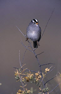 White-crowned Sparrow (Zonotrichia leucophrys) Bosque del Apache National Wildlife Refuge, New Mexico, USA. December 2003  -  Rolf Nussbaumer