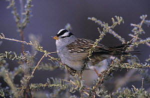 White-crowned Sparrow (Zonotrichia leucophrys) with frost, Bosque del Apache National Wildlife Refuge, New Mexico, USA. December 2003  -  Rolf Nussbaumer