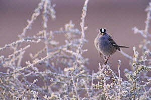 White-crowned Sparrow (Zonotrichia leucophrys) on branches covered in frost, Bosque del Apache National Wildlife Refuge, New Mexico, USA. December 2003  -  Rolf Nussbaumer