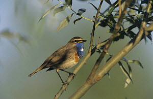 Male White-spotted Bluethroat (Luscinia svecica cyanecula) singing, Fretterans, France. May 1999  -  Rolf Nussbaumer