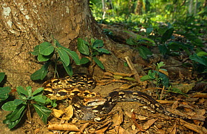 Madagascar ground boa {Acrantophis madagascariensis} on forest floor, Lokobe NR, Nosybe, NW Madagascar  -  Nick Garbutt