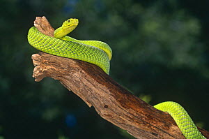 Eastern green mamba {Dendroaspis angusticeps} captive, from East Africa  -  Lynn M Stone