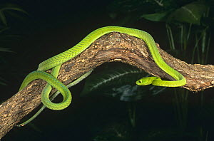 Eastern green mamba {Dendroaspis angusticeps} captive, from East Africa  -  Mary McDonald