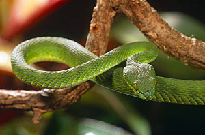 White lipped palm viper {Trimeresurus albolabris} captive, from Central America - David Welling