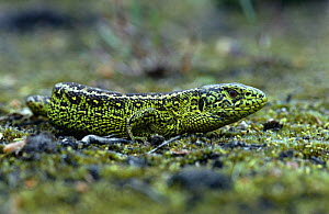 Green lizard {Lacerta viridis} Netherlands  -  Flip de Nooyer