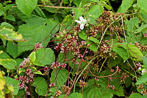 Flowering Greater Dodder (Cuscuta europaea), a parasitic plant, entwined around Common Nettle (Urtica dioica), UK  -  Adrian Davies