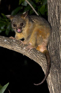 Common Brushtail Possum (Trichosurus vulpecula arnhemensis) in tree at night, Northern Territory, Australia. - Steven David Miller