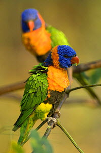 Two Red-collared Lorikeets (Trichoglossus haematodus rubritorquis) Litchfield NP, Northern Territory, Australia  -  Steven David Miller
