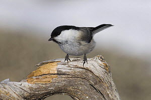 Willow Tit {Poecile montanus} of the race borealis, Finland, winter  -  David Tipling