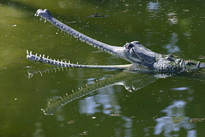 Indian gharial (Gavialus gangeticus) with mouth open, Rapati River, Chitwan NP, Nepal  -  Konstantin Mikhailov
