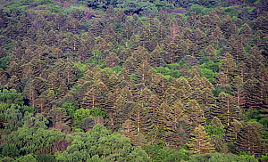 Boreal forest with Manchurian fir trees (Abies holophilla) with darker crowns, the tallest trees in Siberia and Far East, Kedrovaya Pad Zapovednik / Reserve, South Ussuriland, Primorsky, Siberia, Russ... - Konstantin Mikhailov