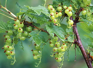 Redcurrant bush (Ribes rubrum) with green unripe berries, Russia  -  Konstantin Mikhailov