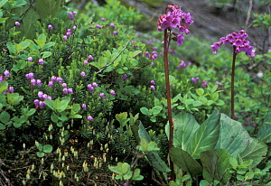 {Bergenia pacifica} and {Phyllodoce sp} flowering on alpine tundra, Sikhote-Alin Mountains, 1200-1600m, Primorsky, SE Siberia, far east Russia  (Ussuriland)  -  Konstantin Mikhailov