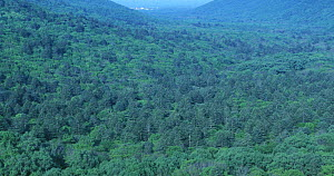 Panorama of Ussurian taiga with Manchurian Fir (the highest trees with dark crown) at extreme south of SE Siberia near Korean-China border, Kedrovaya Pad Zapovednik reserve, Ussuriland, Primorsky, far...  -  Konstantin Mikhailov