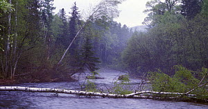 Upper tributary of the Bikin River (river Kilow) in Sikhote-Alin mountainous region, Ussuriland, Primorsky, SE Siberia, Russia. Subtropical riparian and complex Manchurian type mixed forests are subst...  -  Konstantin Mikhailov