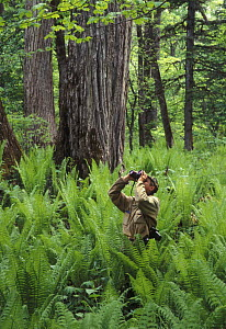 Birdwatcher in Manchurian-type complex riparian forests  (Poplar-Elm-Ash forest with fern) in the river valleys of the Ussuriland, Primorsky, SE Siberia, Russia  -  Konstantin Mikhailov