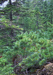 Upper-forest - Subalpine belt in Sikhote-Alin mountains (SE Siberia): thin spruces and Dwarf pine (Pinus pumila), Primorsky, SE Siberia, Russia (Ussuriland). - Konstantin Mikhailov
