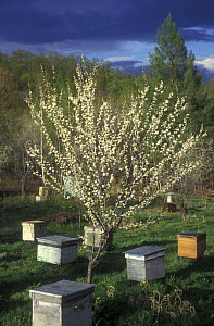 Bee hives around flowering fruit tree, Ussuriland, Primorsky, SE Siberia, Russia  -  Konstantin Mikhailov