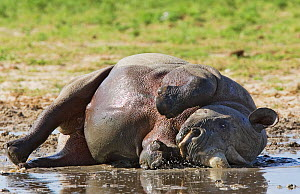 RF- Black rhinoceros (Diceros bicornis) wallowing in mud. Etosha national park, Namibia. Endangered species. (This image may be licensed either as rights managed or royalty free.)  -  Tony Heald