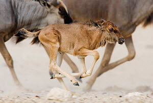 RF- Blue Wildebeest (Connochaetes taurinus) calf running with herd, Etosha national park, Namibia. (This image may be licensed either as rights managed or royalty free.) - Tony Heald
